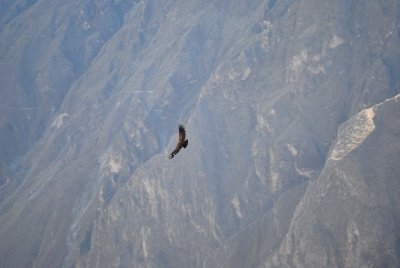 Flight of the Condors
