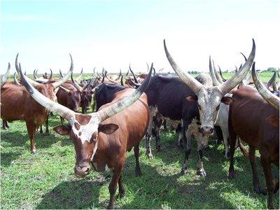 Ankole Cattle (Photo Credit: ILRI)
