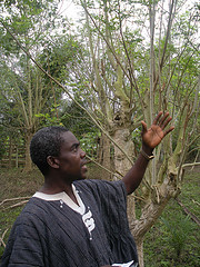 Moringa Tree in Akimoda Village