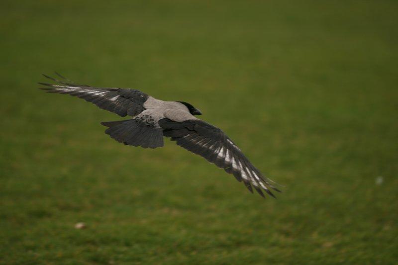Hooded Crow in flight