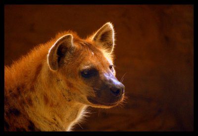 The Hyena