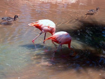 Flamingos