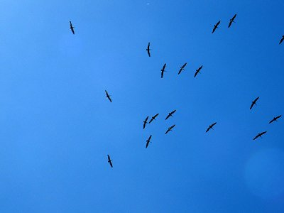 Panamanian Pelicanos