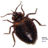 Common Bedbug