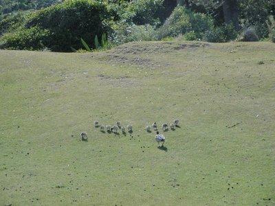 Baby ducks at Pebbly Beach
