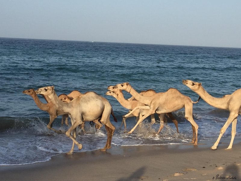 camels in the ocean