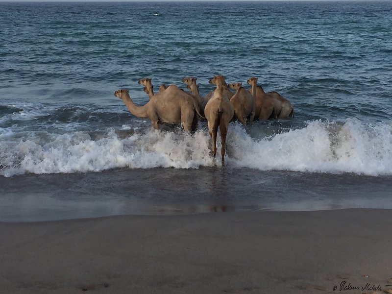 camels in the ocean 2