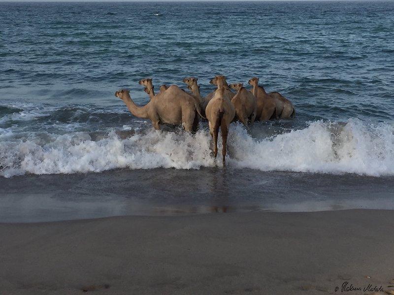 camels in the ocean 2