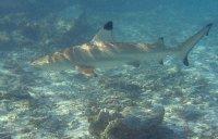 Blacktip_reef_shark.jpg