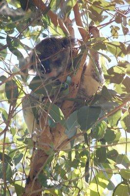 Kaola at Noosa Heads National Park