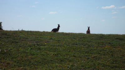 Two Roos at Emerald Beach