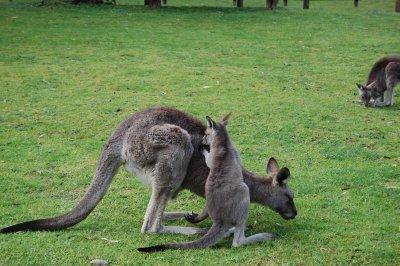 mum-and-baby-kangaroo.jpg