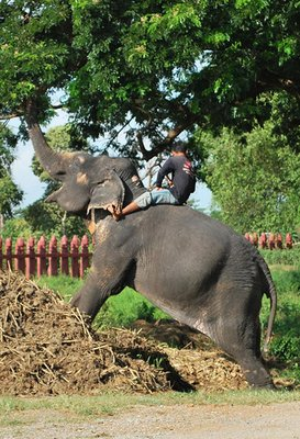 An elephant and mahoot at work