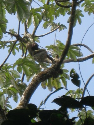 Sloth at Hanging Bridges