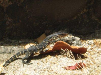 Lizard on Ko Rok