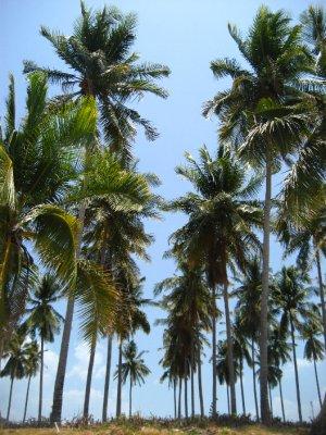 Palm Trees on Ko Lanta Beach