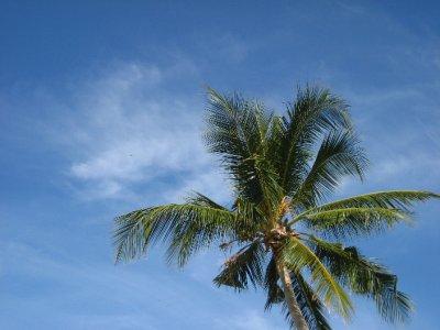 Palm tree at Ko Phi Phi Beach