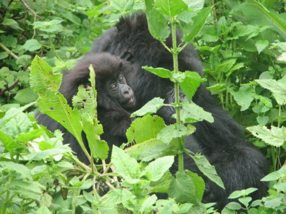 baby gorilla, parc national des volcans
