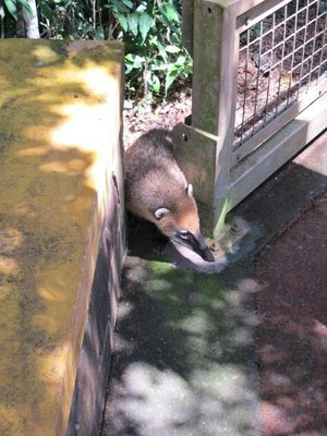 A Coati Mundi trying to pick his moment to cross the path on the Upper Circuit