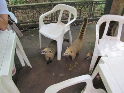 Begging raccoons at a cafe in the park: They would jump on tables and steal sandwiches right out of the hands of unsuspecting tourists!