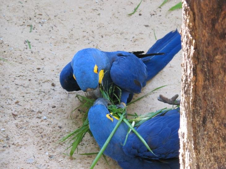 2 parrots at play on the ground