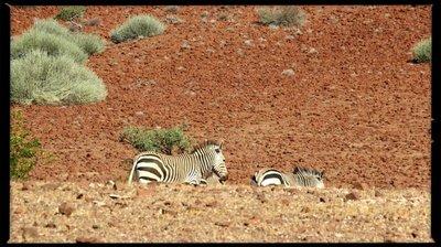 Namibia_Palmwag_zebra_1.jpg