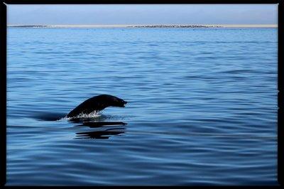 Namibia_Walvisbaai_seal.jpg
