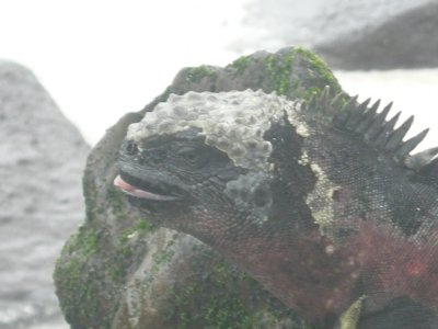 Gardner Bay Punkrocker Marine Iguana