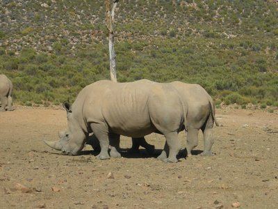Two arsed Rhino