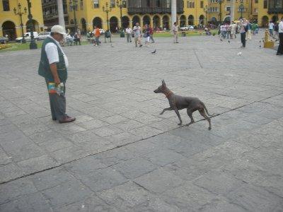 Peruvian Hairless Dog, 'Hotdog'