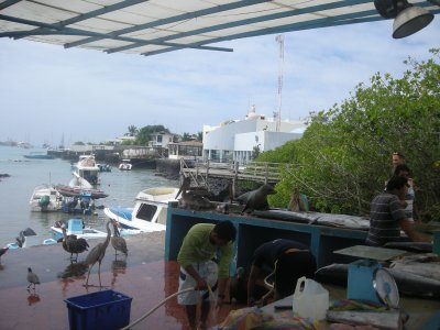 Puerto Ayora Fish shop - sealion on right counter