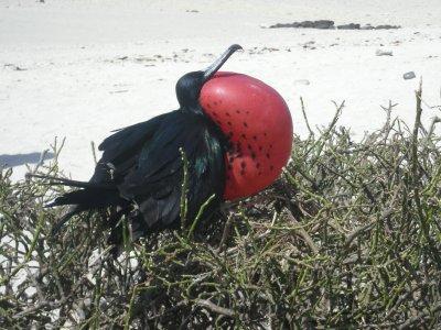 genovesa Frigate bird