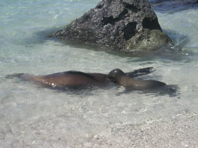 genovesa sealions mum and bub