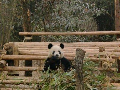 panda in the rough