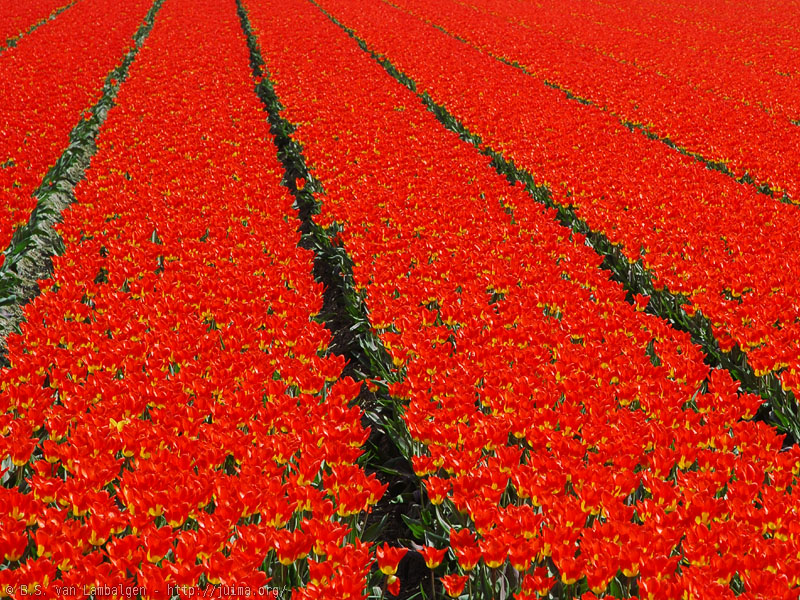 Flowerfields in bloom