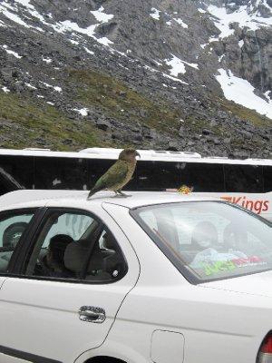 Alpine parrots