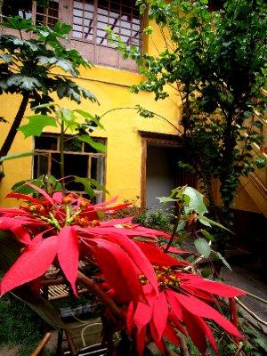 poinsettas in my hostel