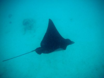 Beautiful eagle rays, Santa Fe