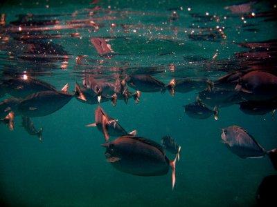 Unicorn fish at the surface