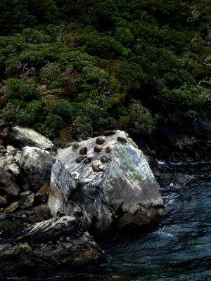 Milford Sound seals