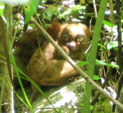 tarsier, mother and baby