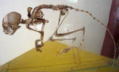 tarsier skeleton