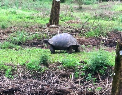 First sighting of giant tortoise in the wild, Santa Cruz