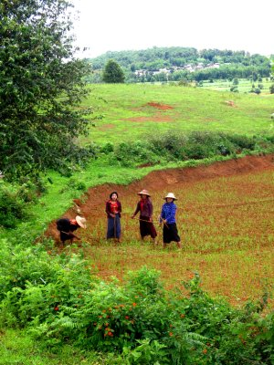 Beautiful Pa-O tribe ladies working the fields