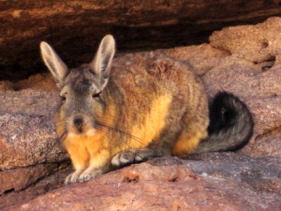 Viscacha in the Bolivian desert, similar to chinchilla but look more like rabbits