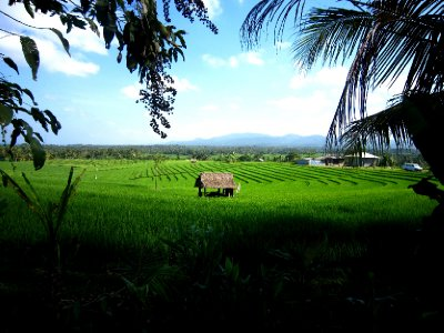 Beautiful rice fields in Bali