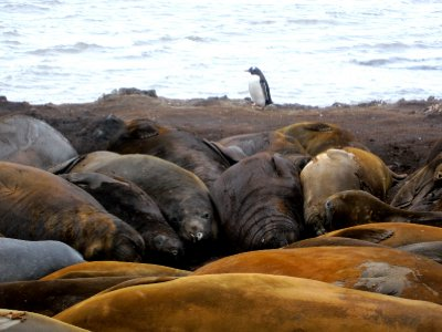 farting elephant seal colony