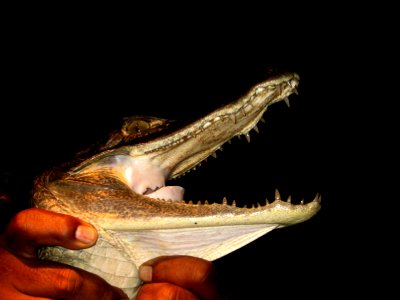 Catching caiman crocodiles on the Amazon