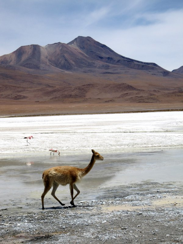 vicunas and flamingoes