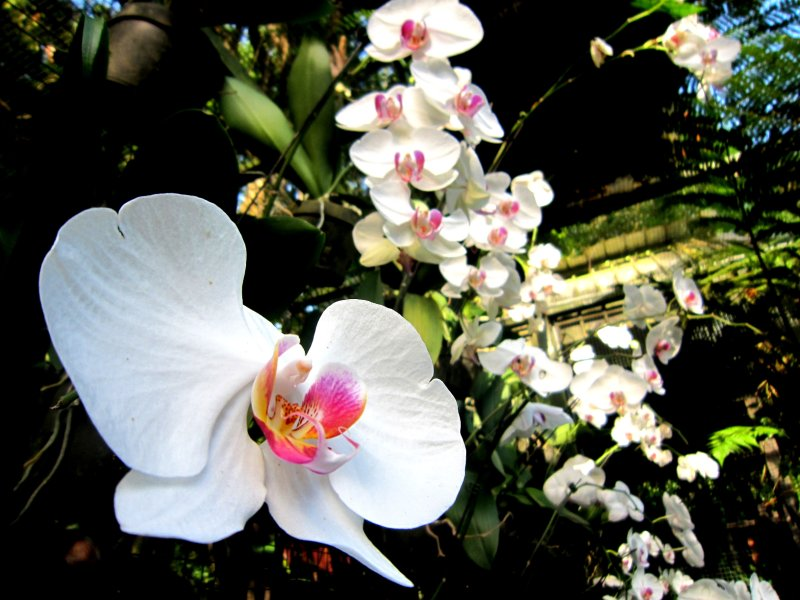 Orchids, Singapore zoo
